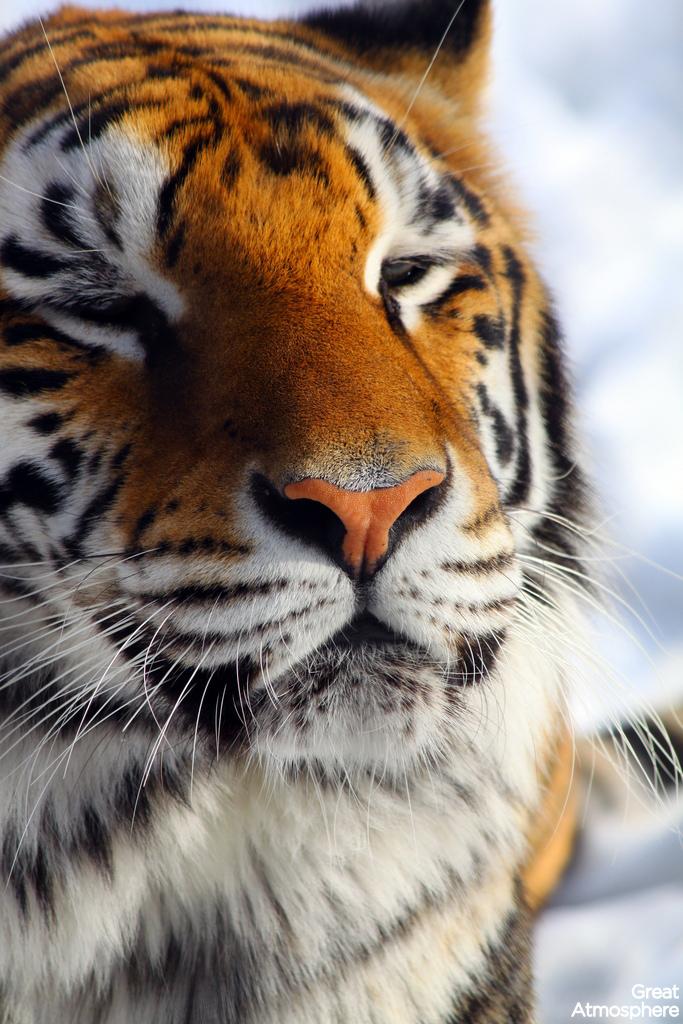 great-atmosphere-tiger-beauty-animal-wildlife-168-1