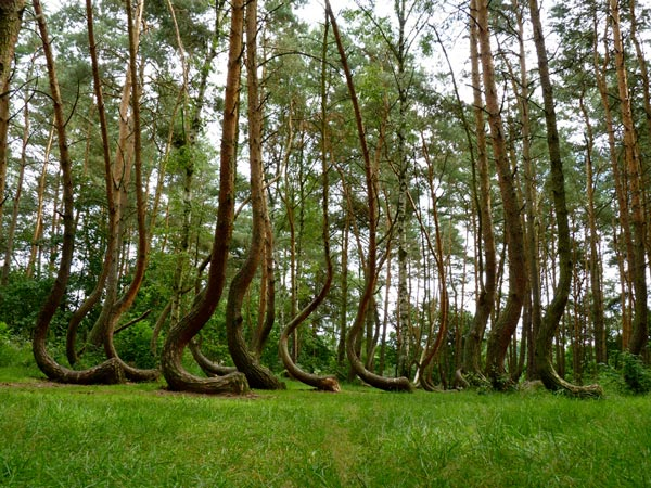 4_Crooked_Forest_Poland_great_atmoshere