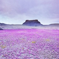Beautiful blooming desert ...!