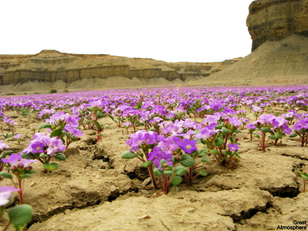 Purple-flowers-desert-flowers-2-great-atmosphere-travel-nature