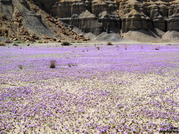 Purple-flowers-desert-flowers-3-great-atmosphere-travel-nature