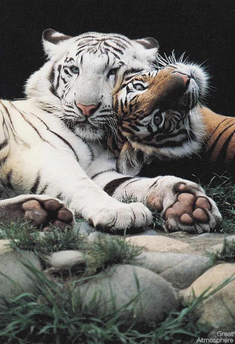 tiger-hugging-beautiful-white-Bengal-tiger-animals-great-atmosphere-173-1