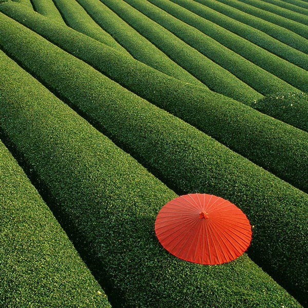 11-Tea-fields-China-travel-nature-landscapes-photography-great-atmosphere