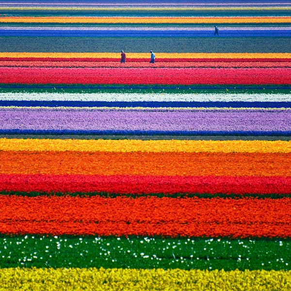 2-fields-with-tulips-netherlands-beautiful-travel-destinations-nature-around-the-planet-great-atmosphere-photography