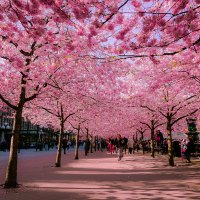 Beautiful Cherry Blossoms, Around the World