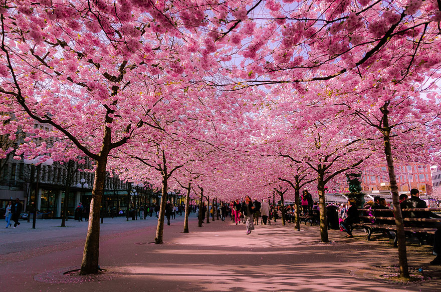 Cherry-blossoms-sakura-spring-1-greatest-images-amazing-2013-great