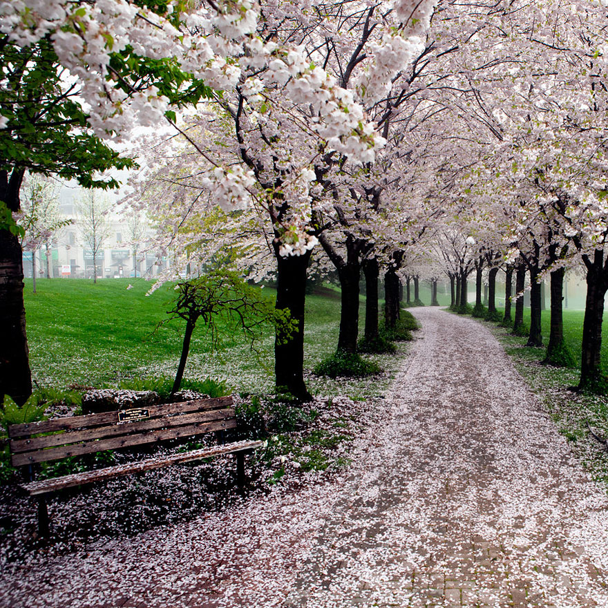 cherry-blossoms-sakura-spring-12-great-atmosphere-greatest-images-2013-beautiful