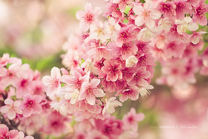 Beautiful cherry blossoms around the world great for Fleurs du printemps