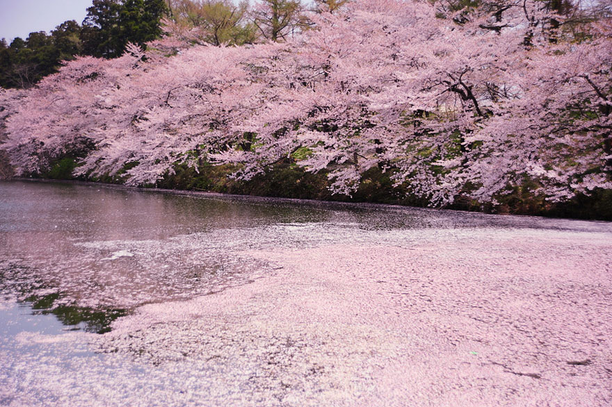 cherry-blossoms-sakura-spring-15-great-atmosphere-greatest-images-2013-beautiful