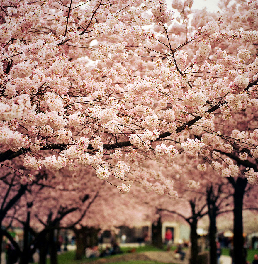 cherry-blossoms-sakura-spring-17-great-atmosphere-photography-2013-beautiful
