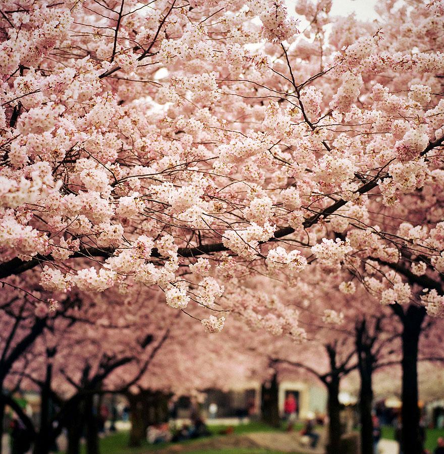 Beautiful Cherry Blossoms, Around The World