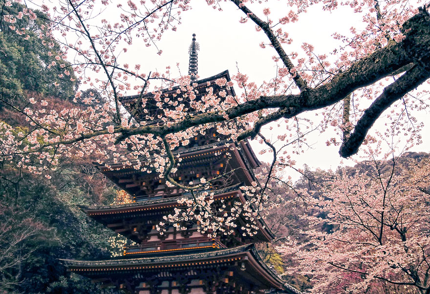 cherry-blossoms-sakura-spring-2-greatest-images-amazing-2013-great-atmosphere