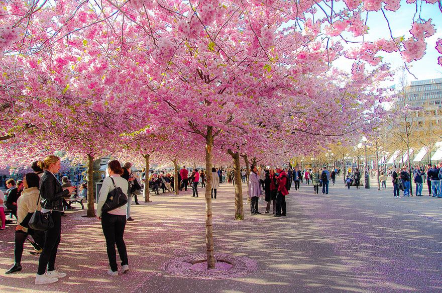 cherry-blossoms-sakura-spring-3-great-atmosphere-greatest-images-amazing-2013