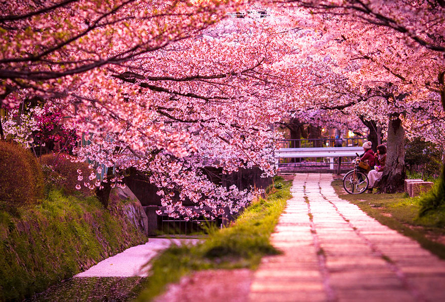 cherry-blossoms-sakura-spring-4-greatatmosphere-greatest-images-amazing-2013