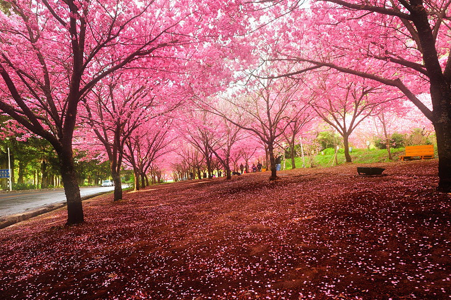cherry-blossoms-sakura-spring-5-great-atmosphere-greatest-images-2013-beautiful