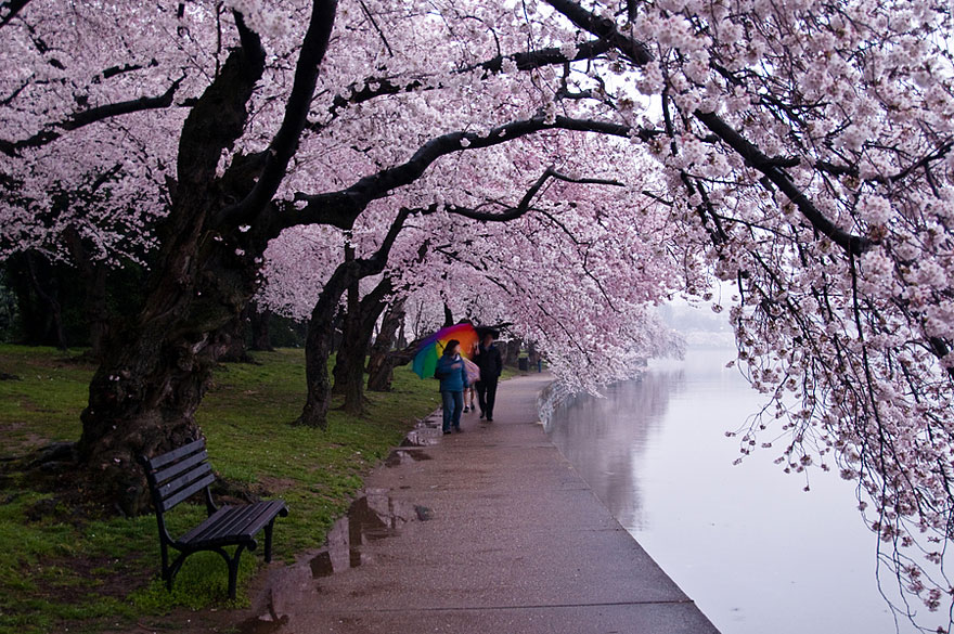 cherry-blossoms-sakura-spring-7-amazing-great-atmosphere-greatest-images-2013