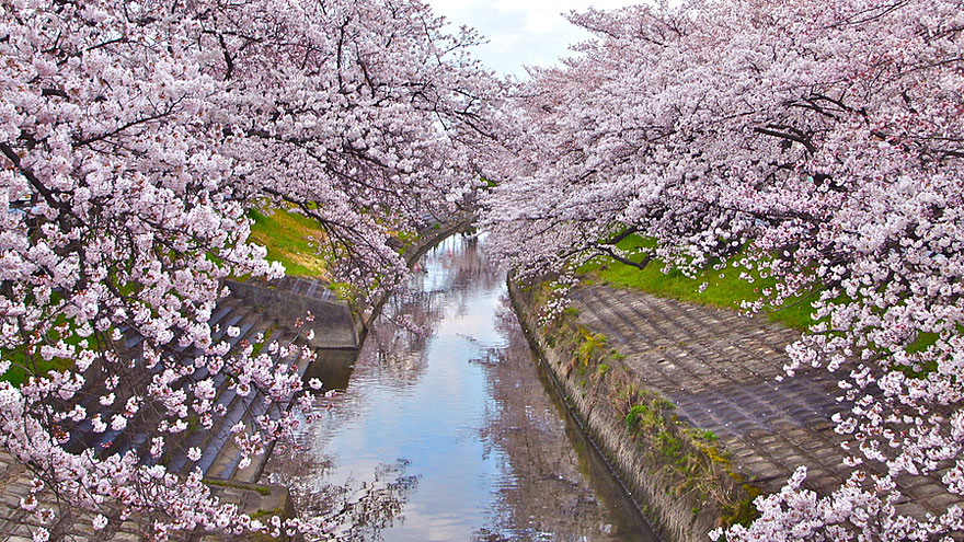 cherry-blossoms-sakura-spring-8-great-atmosphere-greatest-images-2013-beautiful