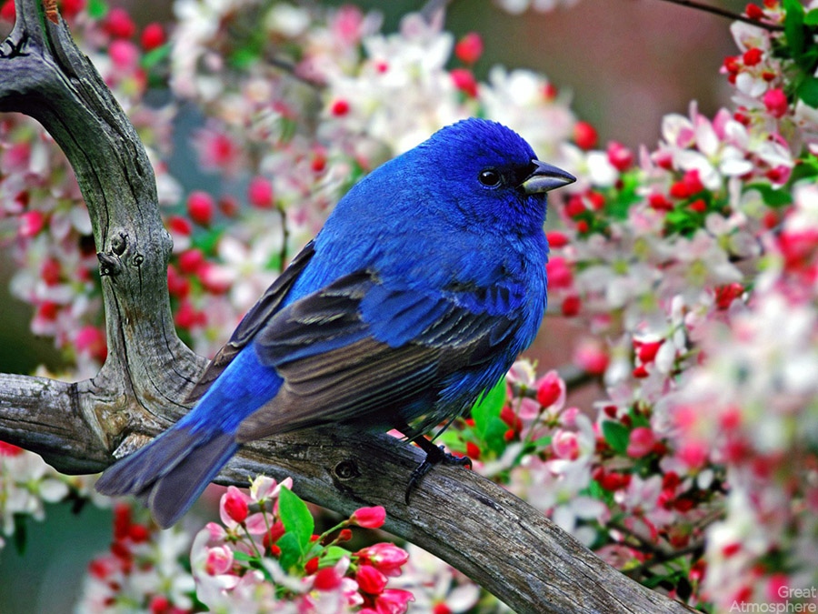 colorful-little-bird-animal-wallpapers-Indigo-Bunting-Passerina-cyanea-nature-amazing-view-beautiful-great-atmosphere-206-1