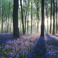Purple Forest, field of flowers
