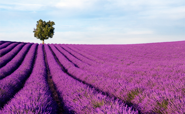2-purple-tasmania-lavender-farm-travel-photography-great-atmosphere-field-beautiful
