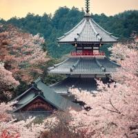 Cherry tree, full bloom Kinpusenji pagoda, Mount Yoshino, Nara, Japan