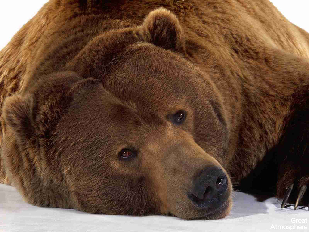 great-atmosphere-bear-brown-lying-snow-muzzle-animal-photography-228-1