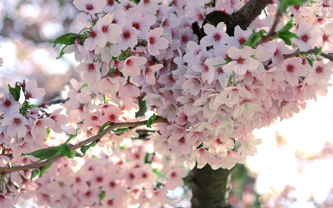 Japanese, spring, cherry, blossom. | Great Atmosphere.