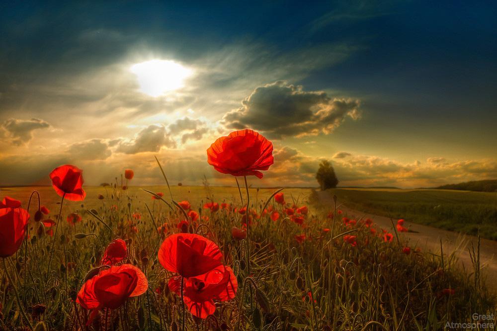 Great Atmosphere, Beautiful, Sunny, Poppy, Field