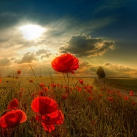 Great Atmosphere, Beautiful, Sunny, Poppy, Field