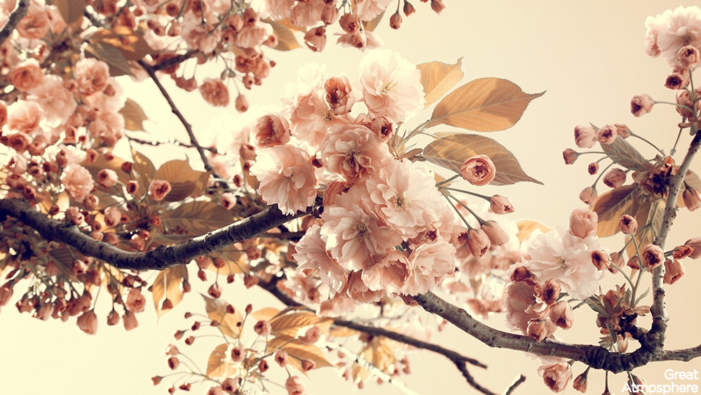 relaxing-landscapes-spring-blossom-sakura-japanese-cherry blossom-japan-tree-travel-destination-amazing-photography