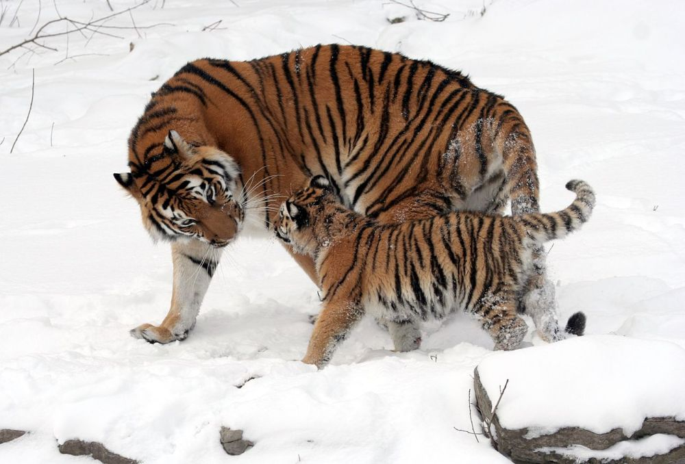 siberian-tigers-buffalo-tigris-altaica-beautiful-wildlife-photography-great-atmosphere-animals
