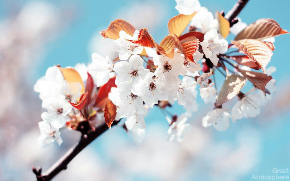 spring-cherry-blossoms-flowers-wallpaper-beautiful-nature-landscapes-great-atmosphere-232-1
