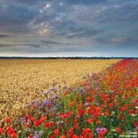 Beautiful, poppy, field and cornfield, summer, flowers