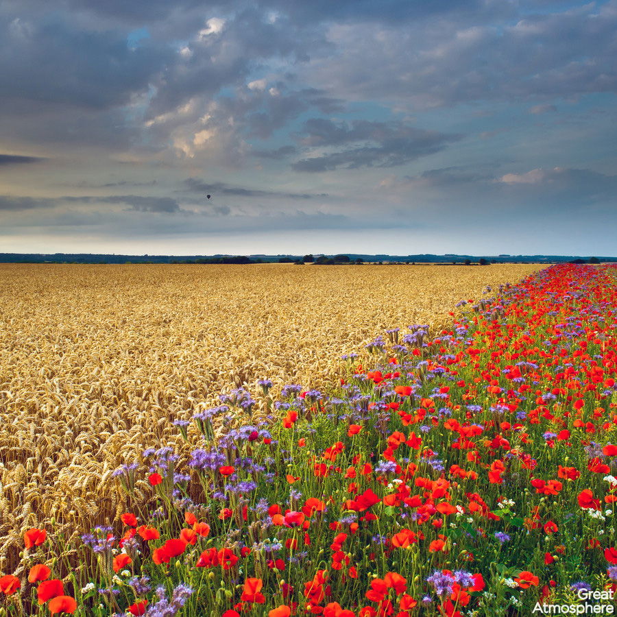 Beautiful Poppy Field And Cornfield Summer Flowers Great