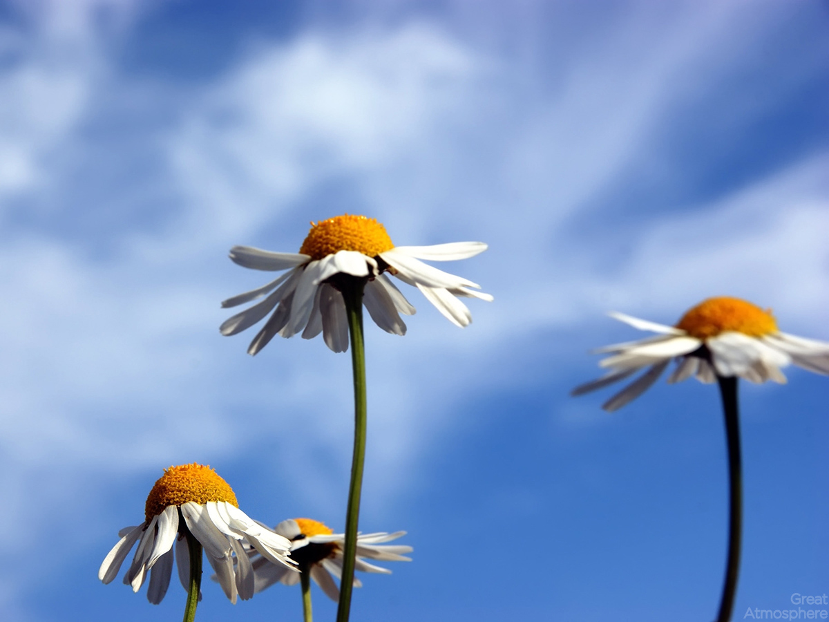 landscape photography flowers. beautiful summer daisies flowers great atmosphere landscape photography r