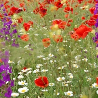 Beautiful, daisies, poppies, flowers, field, summer, landscape