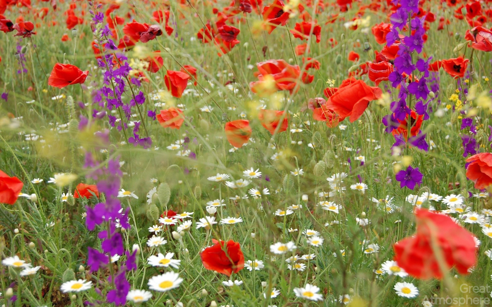 daisies_poppies_flowers_field_summer_nature_relaxation_blur_nature_landscapes_photography_wallpapers_great_atmosphere