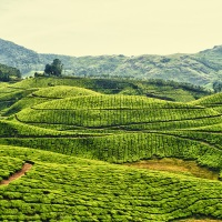 Amazing, green, tea, plantations, Kerala, India